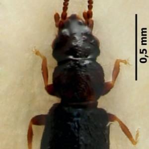 Carpelimus corticinus