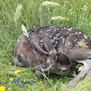 http://naturdata.com/images/species/6000/Cervus-elaphus-6656-130926668287400-tb.jpg