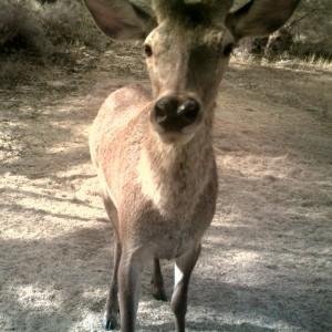 http://naturdata.com/images/species/6000/Cervus-elaphus-6656-137107813464163-tb.jpg