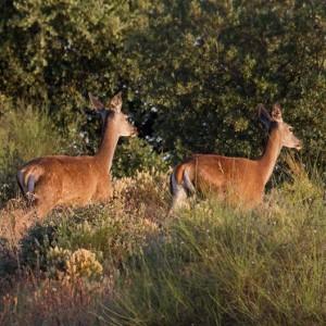 http://naturdata.com/images/species/6000/Cervus-elaphus-6656-14181381231867-tb.jpg