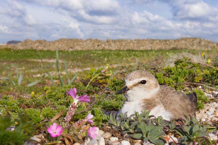 Fêmea no ninho © Armando Caldas