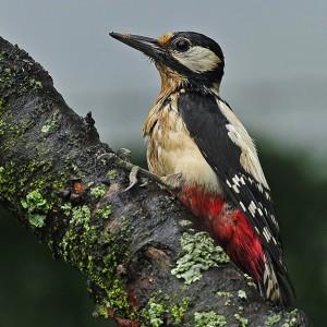 http://naturdata.com/images/species/6000/Dendrocopos-major-6969-137120281173429-tb.jpg