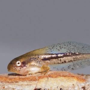 Larva de Hyla arborea © Armando Caldas