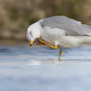 Adulto em plumagem de Verão © Armando Caldas