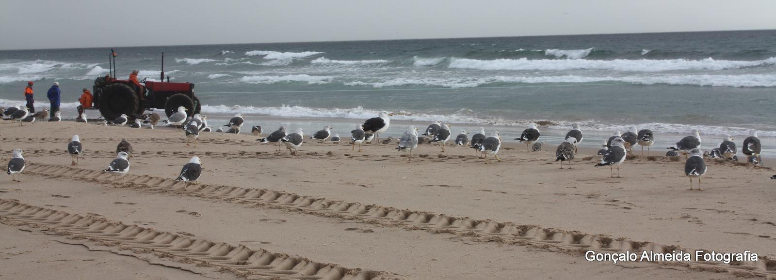 No meio de Larus fuscus e outras gaivotas © Gonçalo Almeida