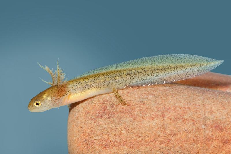 Larva de Lissotriton boscai © Armando Caldas