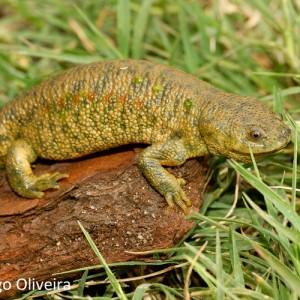http://naturdata.com/images/species/6000/Pleurodeles-waltl-6551-134735366189724-tb.jpg