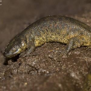 http://naturdata.com/images/species/6000/Pleurodeles-waltl-6551-142487522542395-tb.jpg
