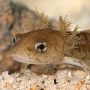 Larva de Salamandra salamandra © Armando Caldas