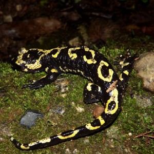 http://naturdata.com/images/species/6000/Salamandra-salamandra-6534-135379387267605-tb.jpg