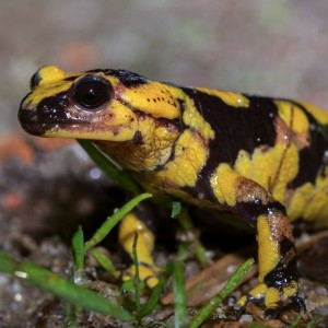 http://naturdata.com/images/species/6000/Salamandra-salamandra-6534-14155686661418-tb.jpg