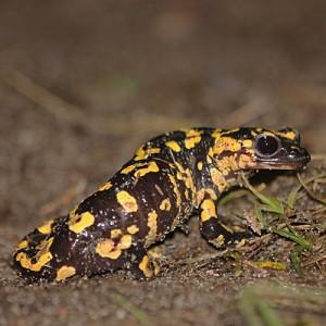 http://naturdata.com/images/species/6000/Salamandra-salamandra-6534-141720743023428-tb.jpg