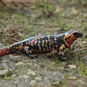 http://naturdata.com/images/species/6000/Salamandra-salamandra-6534-142425793142540-tb.jpg