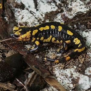 http://naturdata.com/images/species/6000/Salamandra-salamandra-6534-142443058852425-tb.jpg