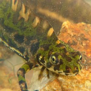 http://naturdata.com/images/species/6000/Triturus-marmoratus-6542-131479095147914-tb.JPG