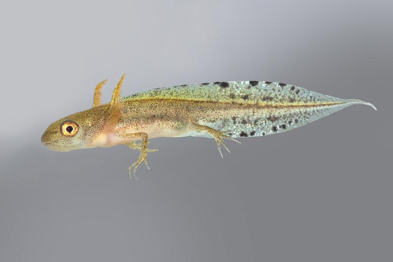 Larva de Triturus marmoratus © Armando Caldas