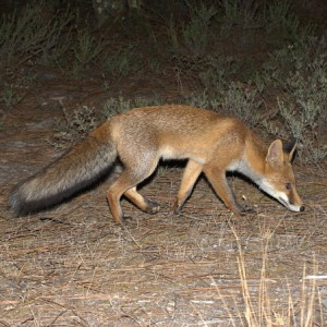 http://naturdata.com/images/species/6000/Vulpes-vulpes-6692-13340057318009-tb.jpg