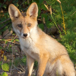 http://naturdata.com/images/species/6000/Vulpes-vulpes-6692-136233738461010-tb.jpg