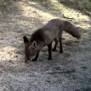 http://naturdata.com/images/species/6000/Vulpes-vulpes-6692-137846379873927-tb.JPG