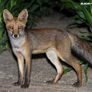 http://naturdata.com/images/species/6000/Vulpes-vulpes-6692-140597656063822-tb.jpg