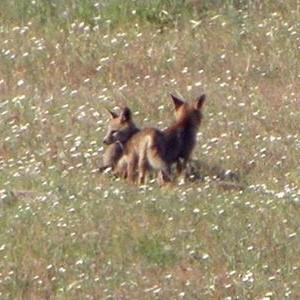 http://naturdata.com/images/species/6000/Vulpes-vulpes-6692-140964649699299-tb.jpg