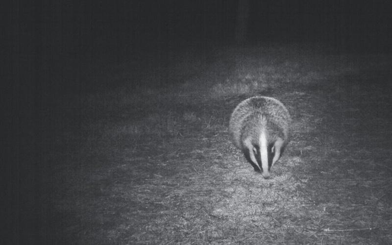 Texugo a alimentar-se durante a noite © Sercaça