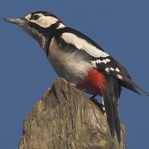 http://naturdata.com/images/species/6000/thumbnail_1254323039.jpg