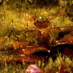 Galathea squamifera