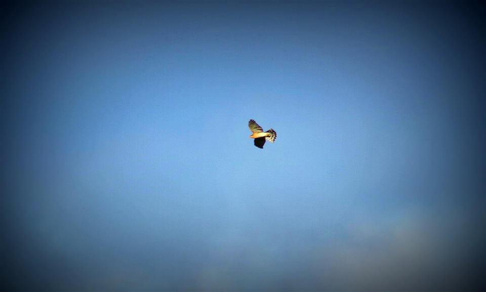 O gavião voa muito alto e plana em círculos até avistar uma presa. Nessa altura, desce em voo picado. © Miguel Berkemeier