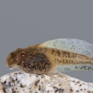 Larva de Alytes cisternasii © Armando Caldas