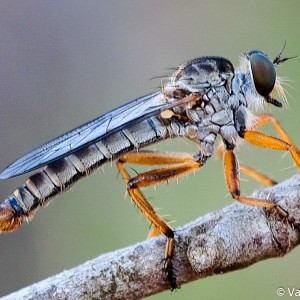 Aneomochtherus lepidus