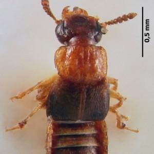 Anotylus nitidifrons