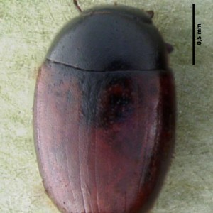 Cercyon haemorrhoidalis