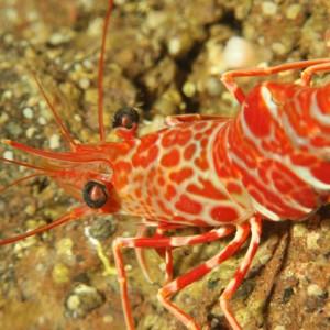 Cinetorhynchus rigens