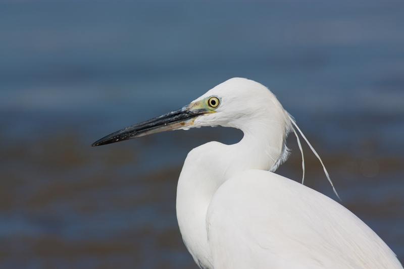Adulto com plumagem nupcial © Armando Caldas