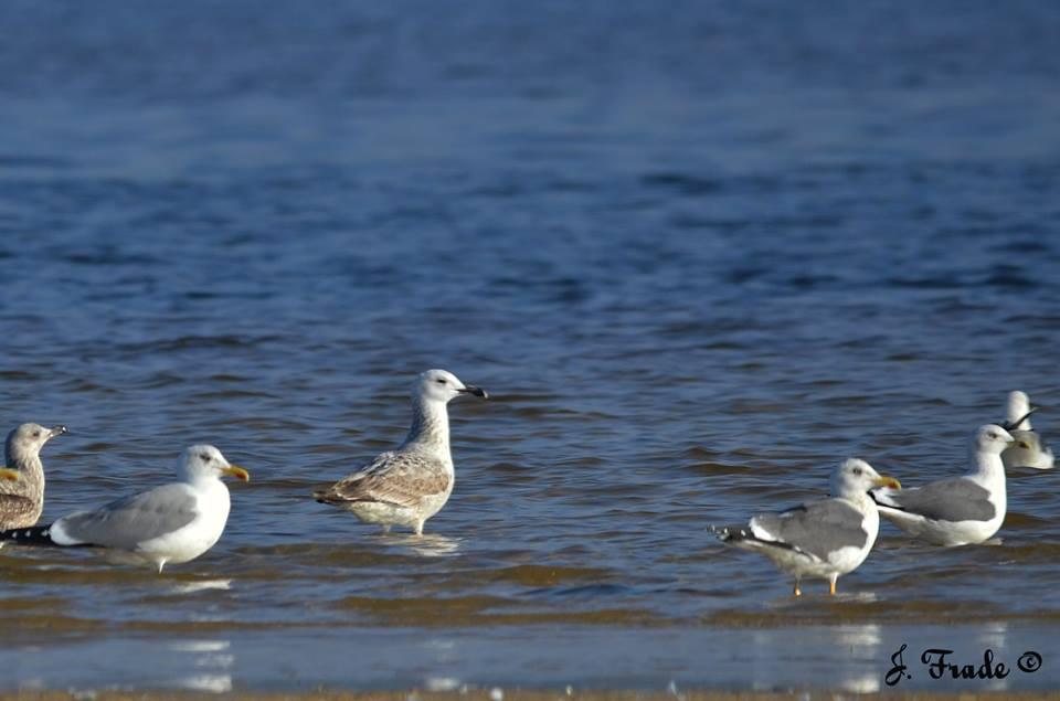 1º inverno (gaivota do meio) © José Frade