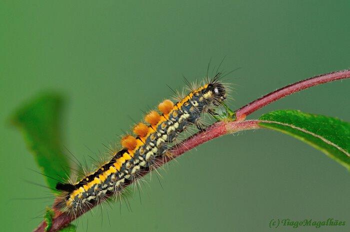 Larva © Tiago Magalhães