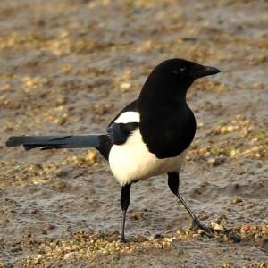 http://naturdata.com/images/species/7000/Pica-pica-7604-136430395489981-tb.jpg
