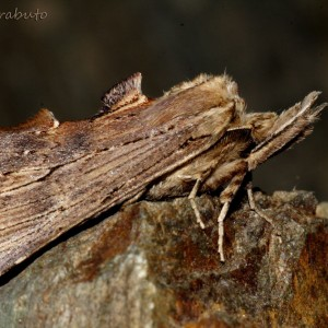 Pterostoma palpina