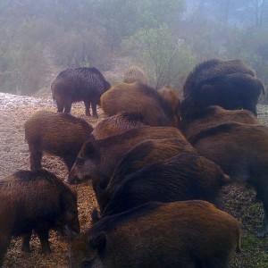 http://naturdata.com/images/species/7000/Sus-scrofa-scrofa-7547-135945598175784-tb.JPG