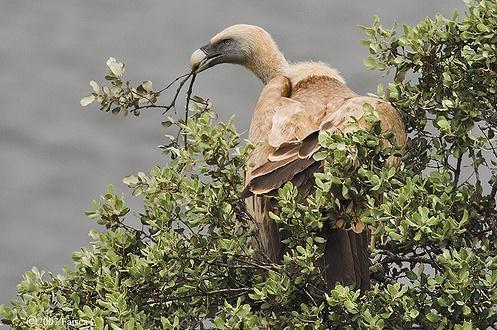 Adulto a recolher material para o ninho © Faísca