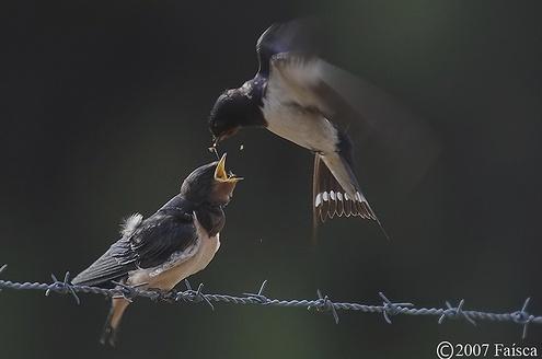 Adulto a alimentar uma cria © Faísca