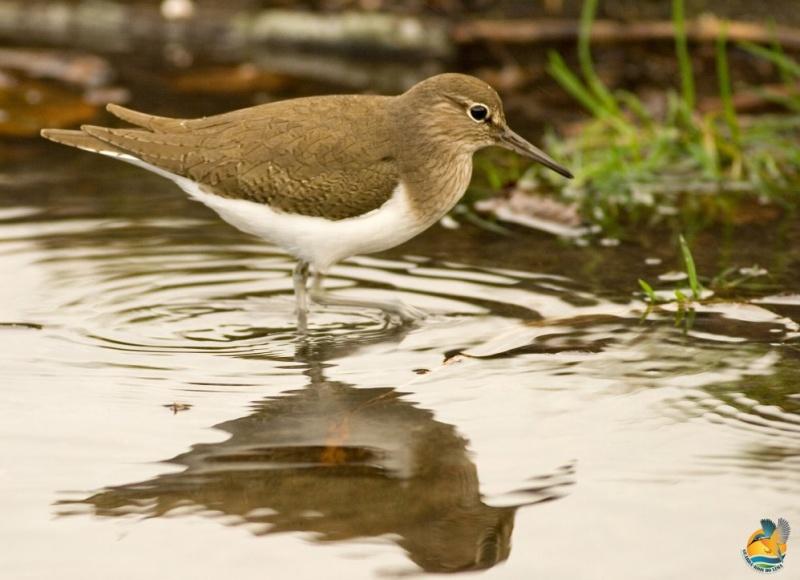 Sempre ligado a zonas húmidas tanto de água doce como salgada. © Guarda-Rios do Lima