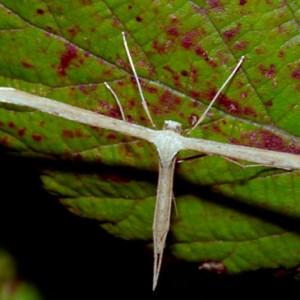 Emmelina monodactyla