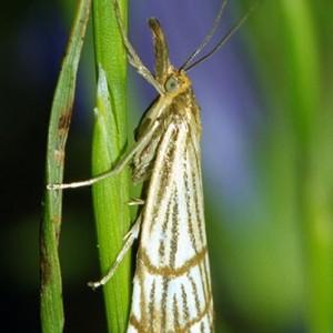 Chrysocrambus dentuellus