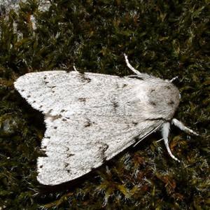 http://naturdata.com/images/species/8000/Acronicta-leporina-8282-132070186917234-tb.jpg