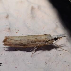 Agriphila trabeatellus