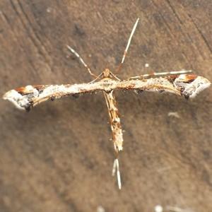 Amblyptilia acanthadactyla