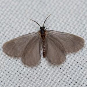 Apterona crenulella