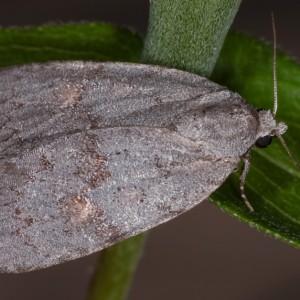 Bryonycta pineti